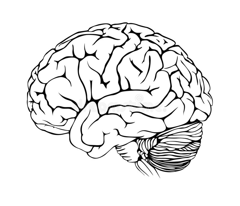 Brain. Human brain on white background royalty free illustration