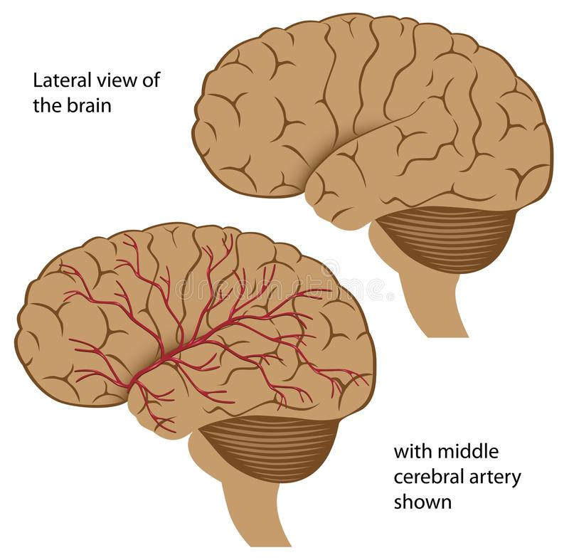 Brain anatomy stock illustration