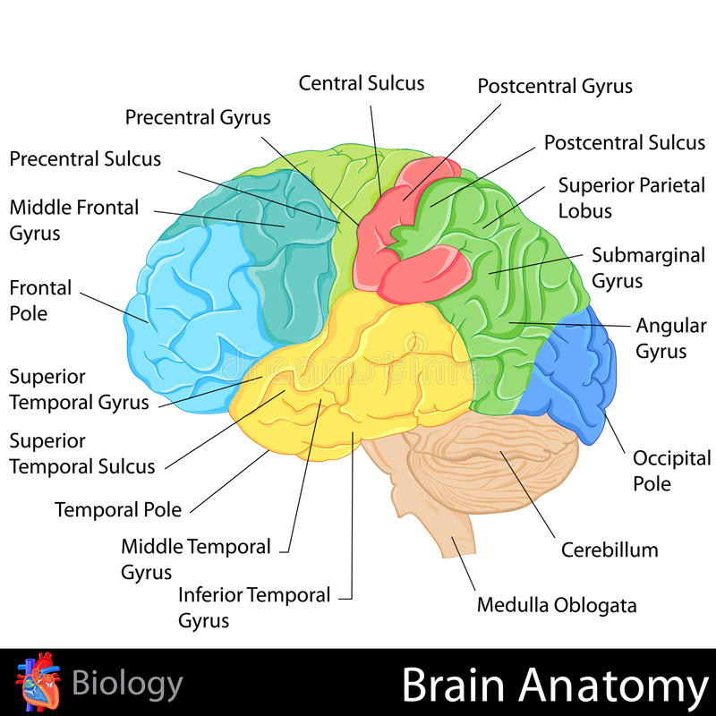 Brain Anatomy vektor illustrationer
