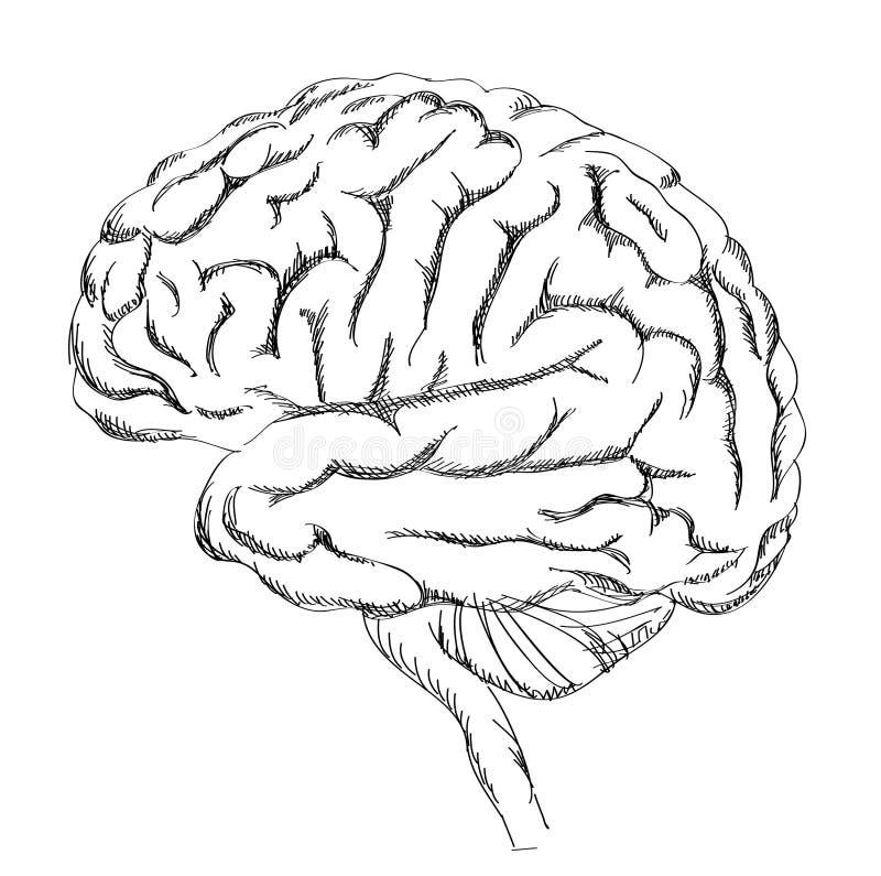 Brain Anatomy illustration stock