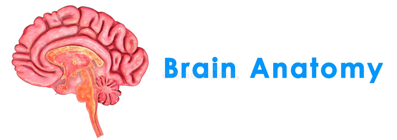 Download Brain Anatomy illustration stock. Illustration du cervelet - 45367315