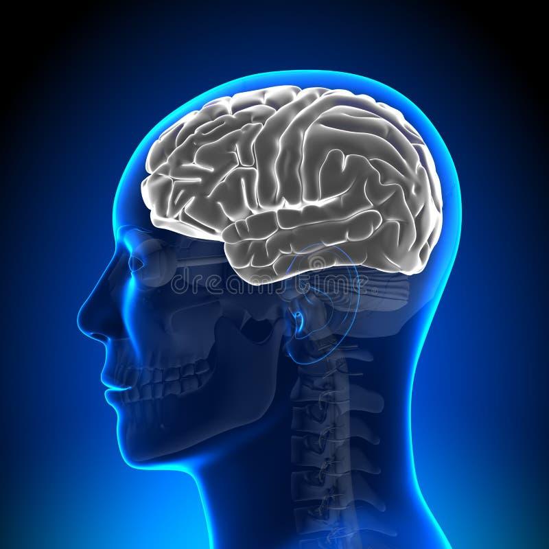 Brain Anatomy - Brain White Blank royalty-vrije illustratie