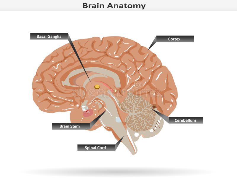 Brain Anatomy con los ganglios básicos, la corteza, Brain Stem, el cerebelo y la médula espinal libre illustration