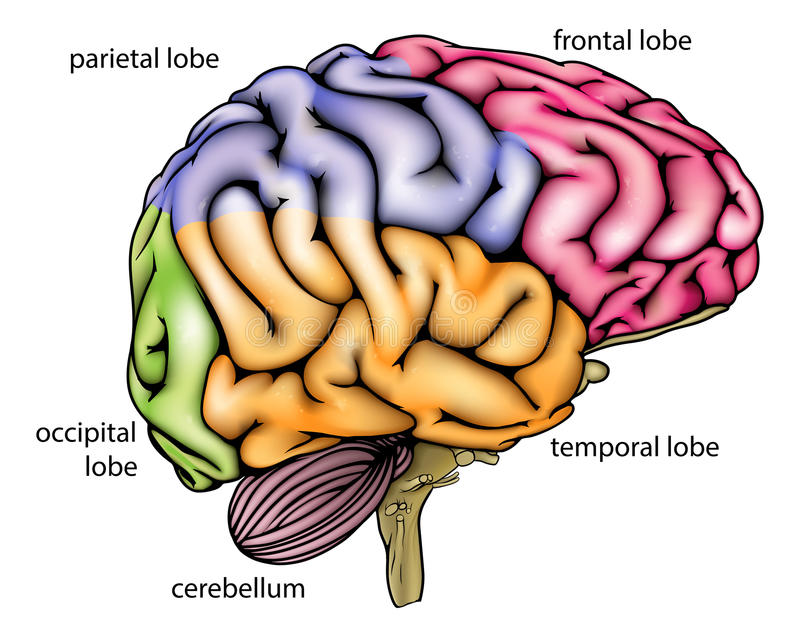 Brain anatomy diagram. With sectioned in different colours and named royalty free illustration