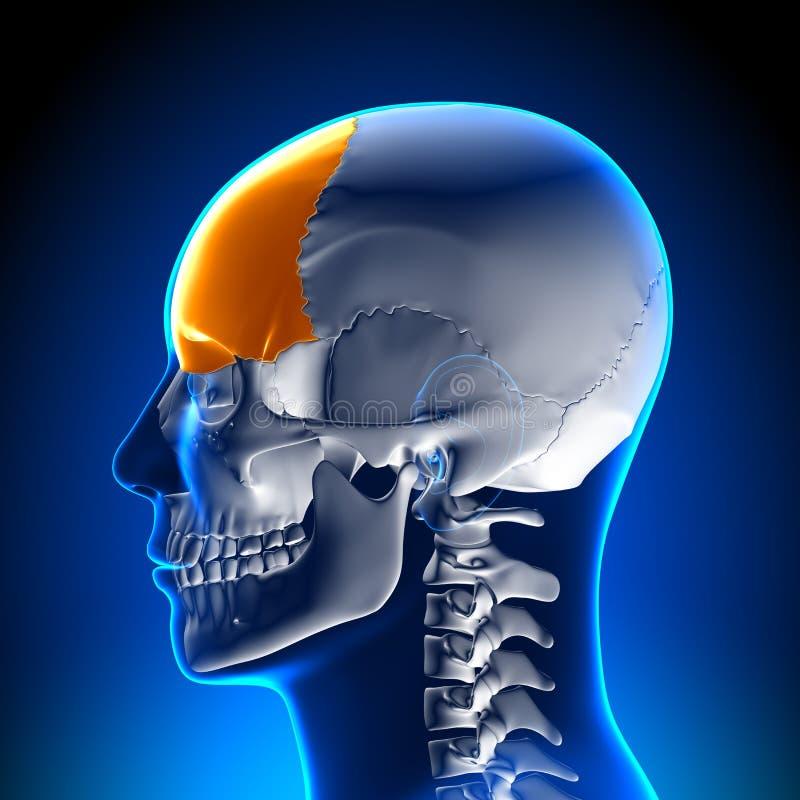 Brain Anatomy - Frontale kwab stock illustratie