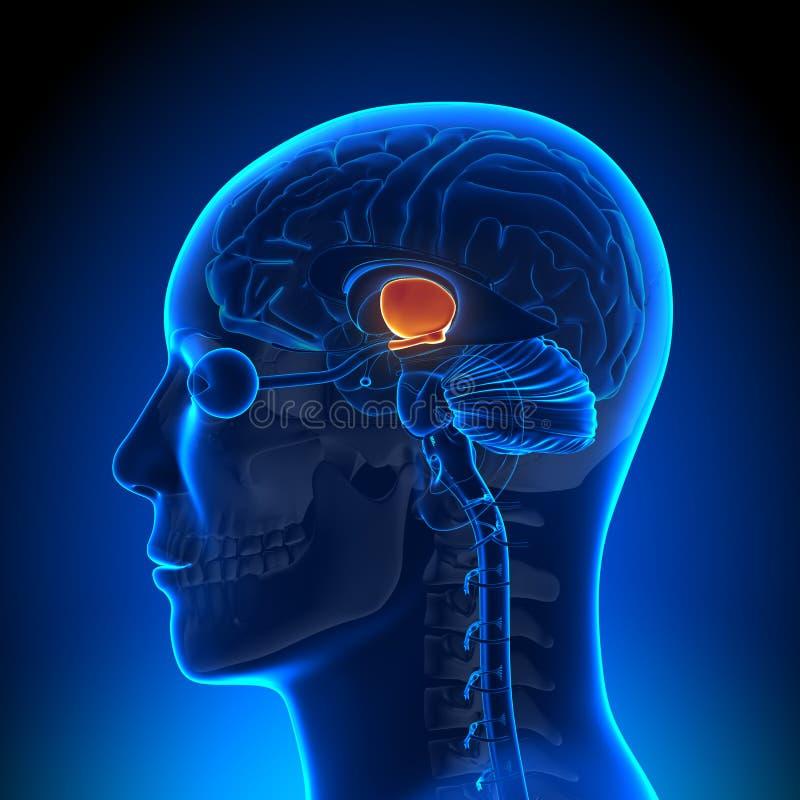 Brain Anatomy - Hippotalamus ilustração do vetor