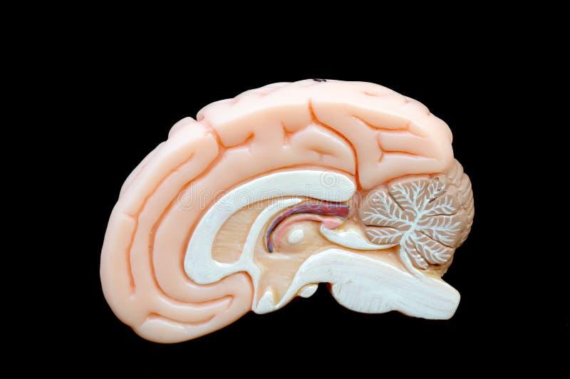 Brain. Anatomy of human brain model stock photo