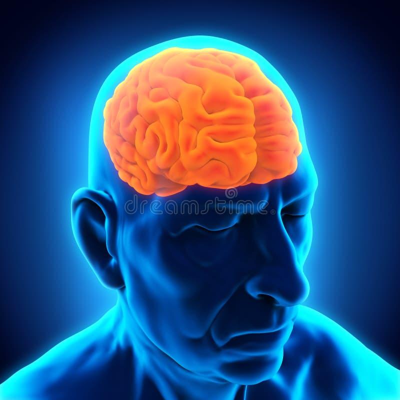 Brain Anatomy masculin plus âgé illustration stock