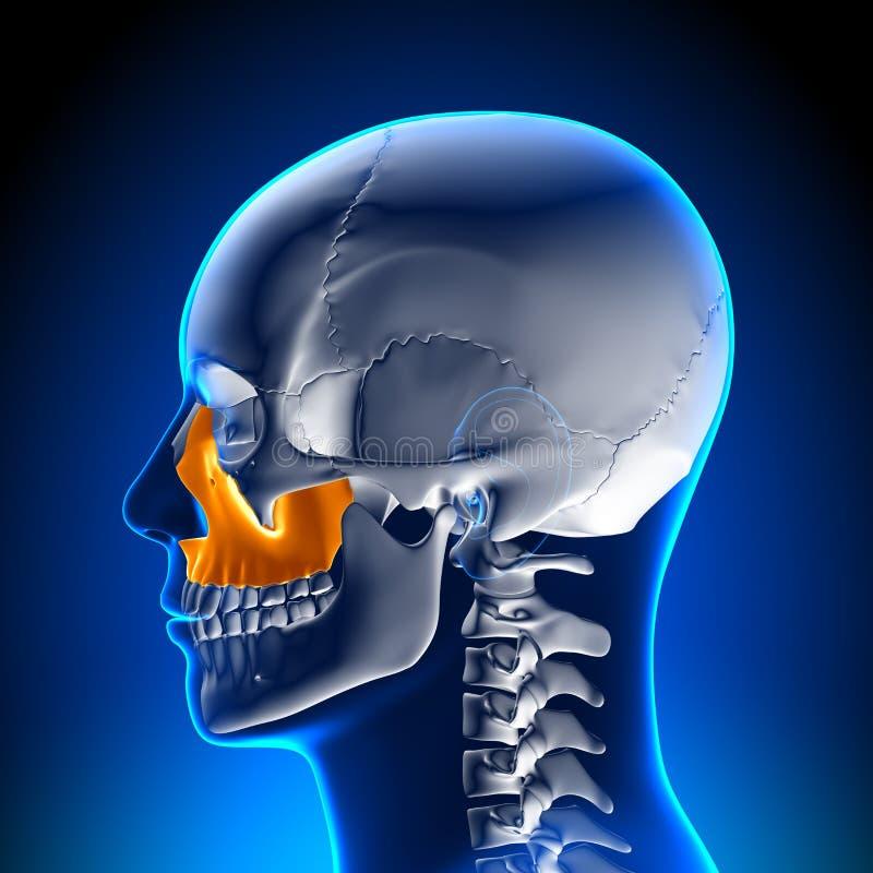 Brain Anatomy - Maxilla stock illustratie