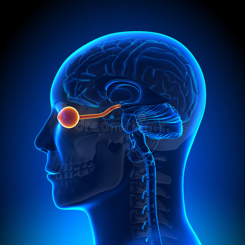 Brain Anatomy - nervo/olho ópticos ilustração do vetor