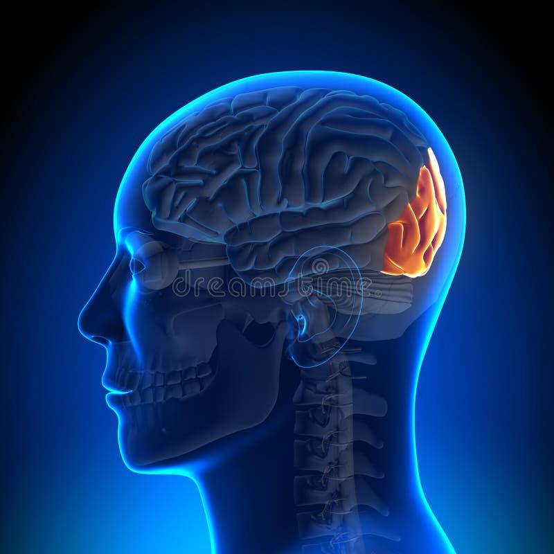 Brain Anatomy - Occipital lob vektor illustrationer