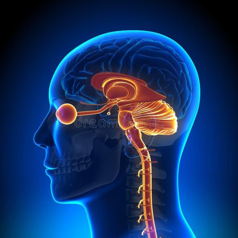Brain Anatomy - peças internas ilustração stock