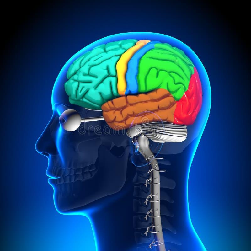 Brain Anatomy - pièces de couleur illustration stock