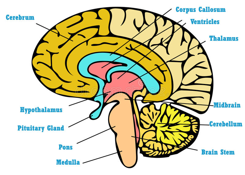 Brain Anatomy Scheme Stock Illustration Illustration Of Books