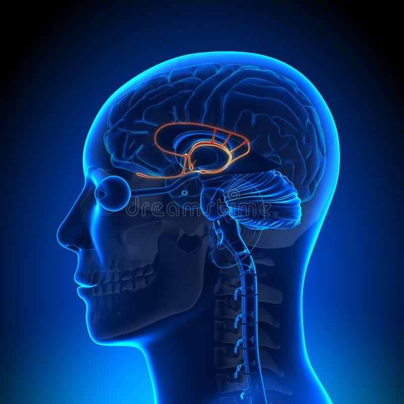 Brain Anatomy - sistema limbico illustrazione vettoriale