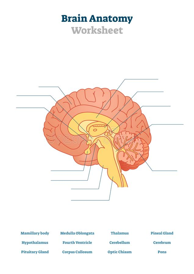 Pituitary Gland Anatomical Vector Illustration Diagram ...
