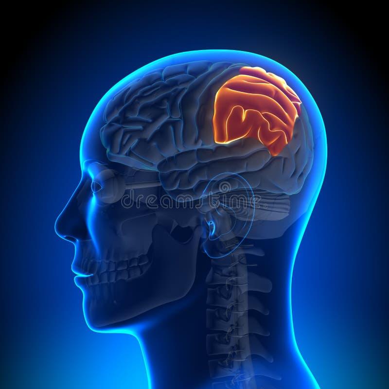 Brain Anatomy - Wandkwab stock illustratie