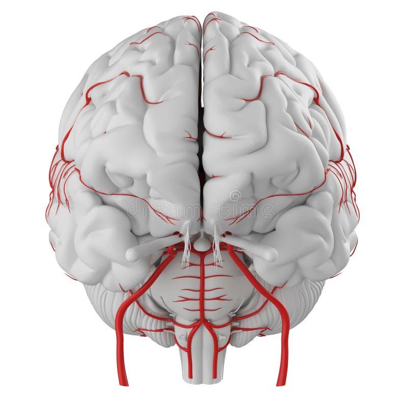 The brain arteries stock illustration