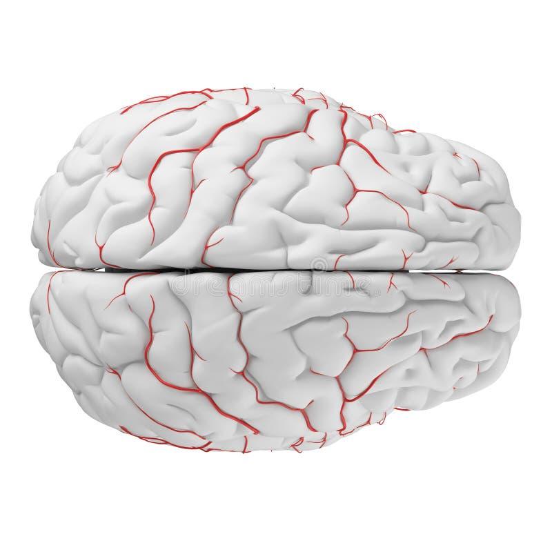 The brain arteries vector illustration