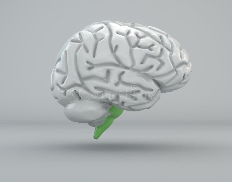 Brain, bulb, medulla oblongata, division stock illustration