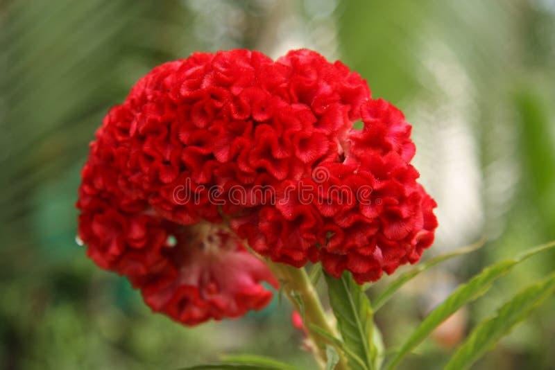 Brain Celosia blomma eller tuppkamblomma royaltyfria foton