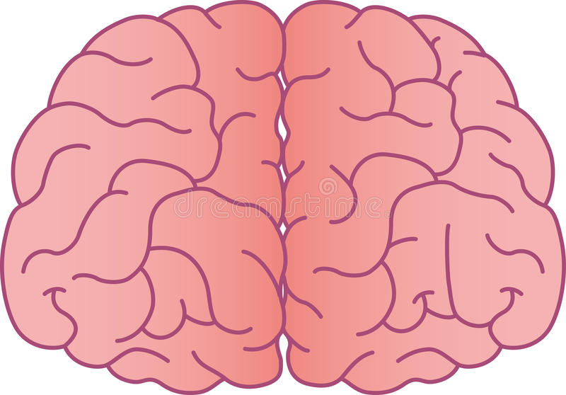 Brain. Cerebral illustrations from the front stock illustration
