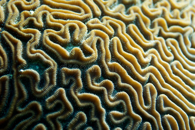 Download Brain Coral stock image. Image of fish, pacific, school - 26533623
