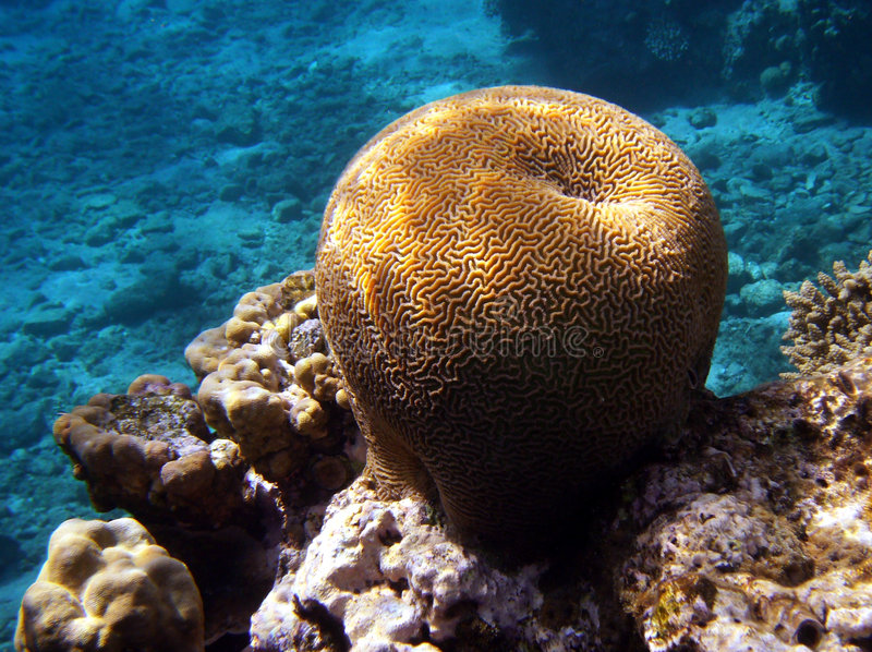 Download Brain Coral stock photo. Image of tropical, scuba, swim - 3802768