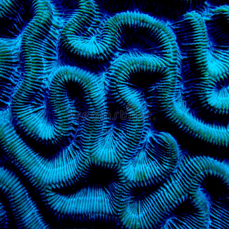 Brain coral, Bonaire. Close-up, detail of brain coral Diploria, Bonaire, Eusmilia fastigiata, Caribbean sea. Shapes, background, pattern, symmetry royalty free stock photos