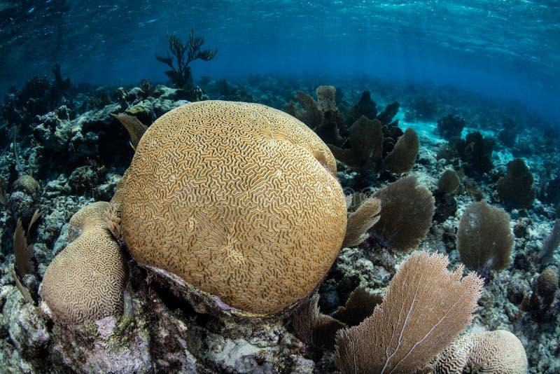 Brain Coral in Caraïbische Zee stock foto's