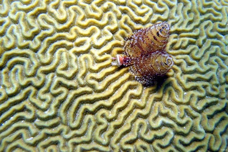 Brain Coral Christmas stockfoto