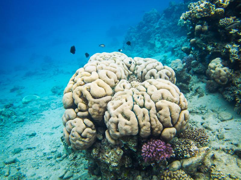 Brain coral. Colourful marine life in Red Sea, Egypt, Dahab. stock images