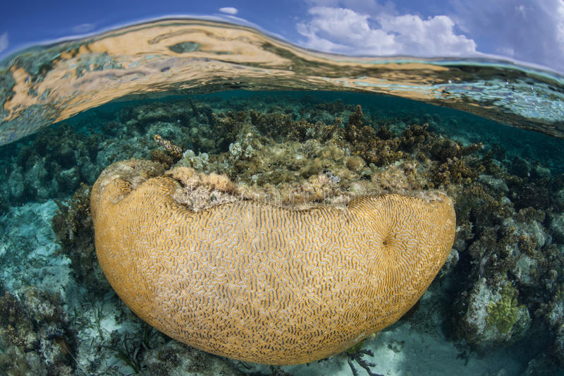 Brain Coral in de Caraïben royalty-vrije stock foto