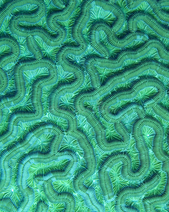 Free Brain Coral Detail Stock Photography - 3369422