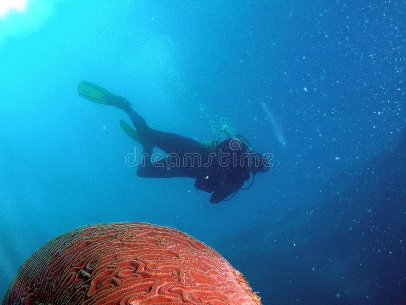 Brain Coral with Diver stock images