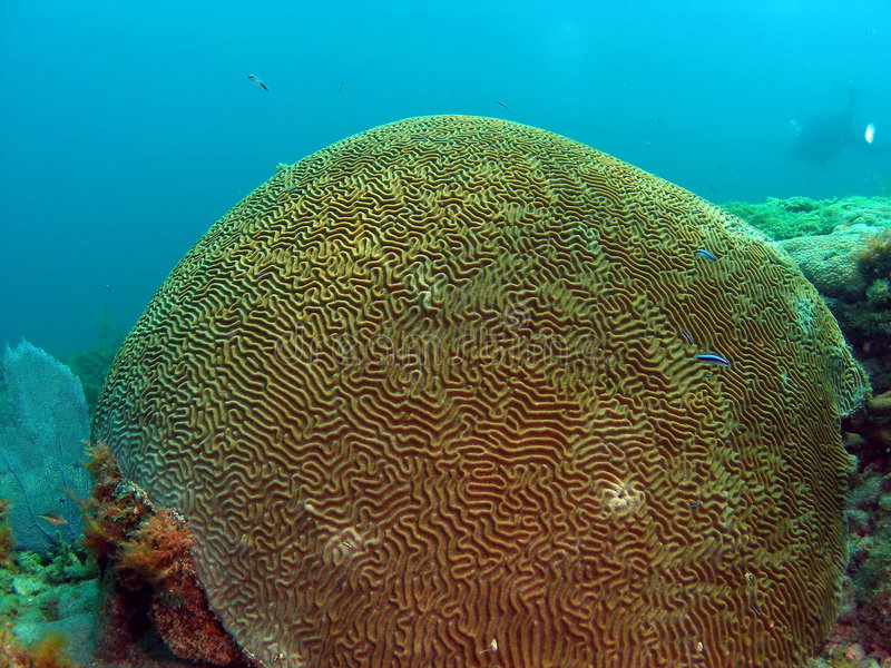 Brain Coral and Diver royalty free stock photo