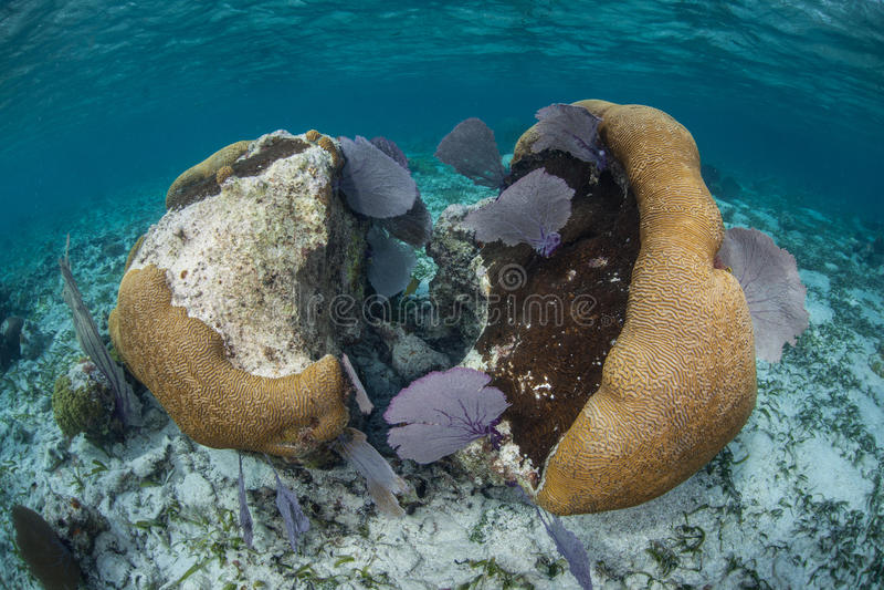 Brain Coral e gorgonie caraibici immagine stock libera da diritti