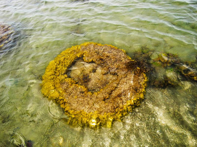 Brain Coral Kurusadai ö, golf av den Mannar biosfärreserven, Tamil Nadu, Indien royaltyfri foto