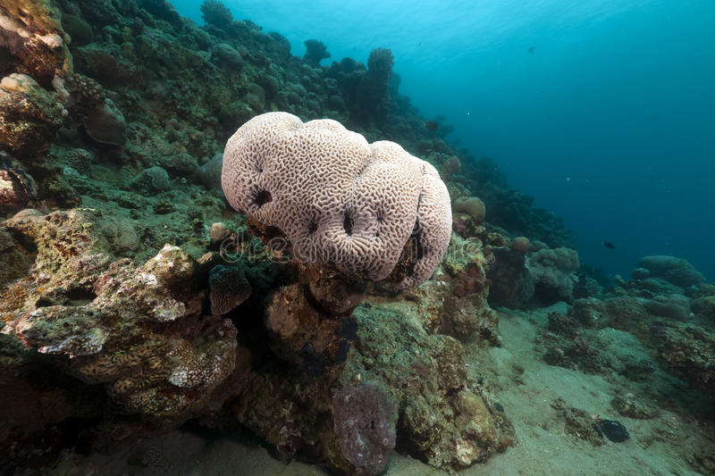 Brain coral in the Red Sea. royalty free stock image