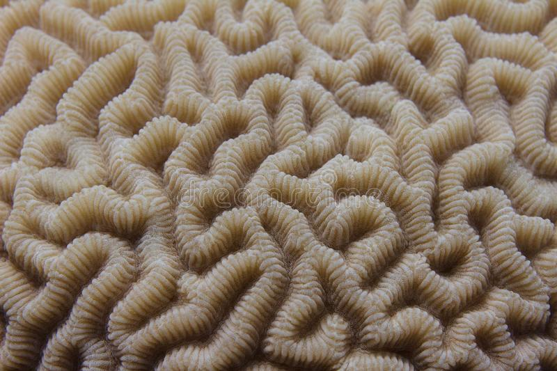 Brain Coral in Red Sea stock image