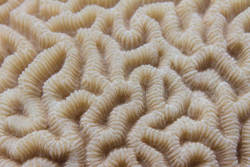 Brain Coral in Red Sea royalty free stock photos