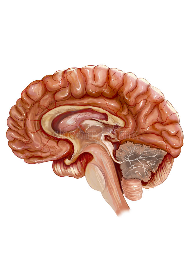 Brain. Detailed drawings of the human brain stock illustration