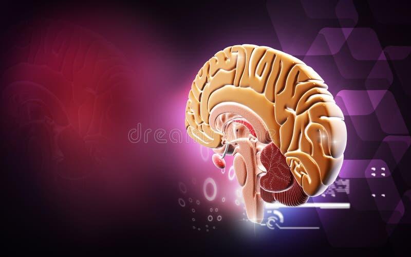 Brain royalty free illustration
