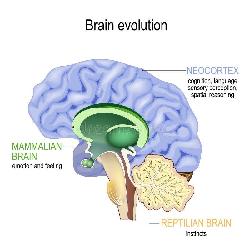 Brain evolution. Triune brain: Reptilian complex, mammalian brain and Neocortex. Brain evolution. Triune brain: Reptilian complex basal ganglia for instinctual royalty free illustration