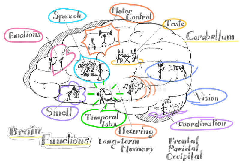 Brain functions vector. Human brain functions vector illustration royalty free illustration