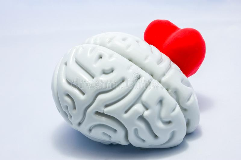 Brain and heart on a white background. Heart shape peeps or hiding behind the anatomical shape of the brain. The brain protects th stock photo