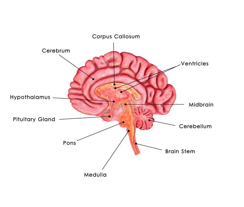 Brain labelled royalty free illustration
