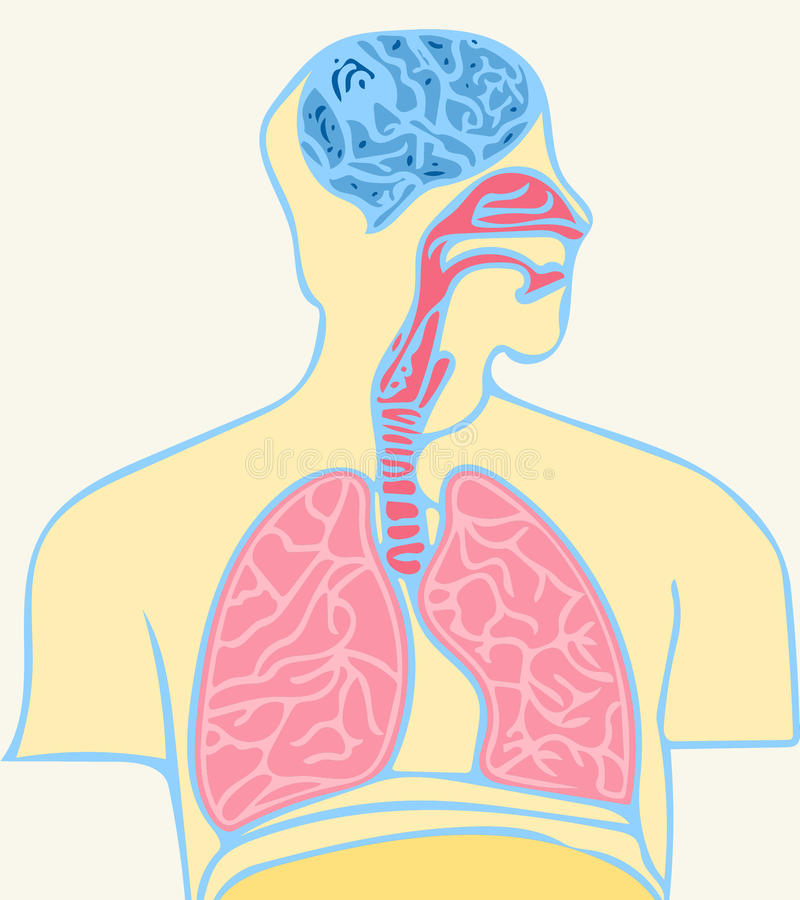 Brain and lungs royalty free illustration