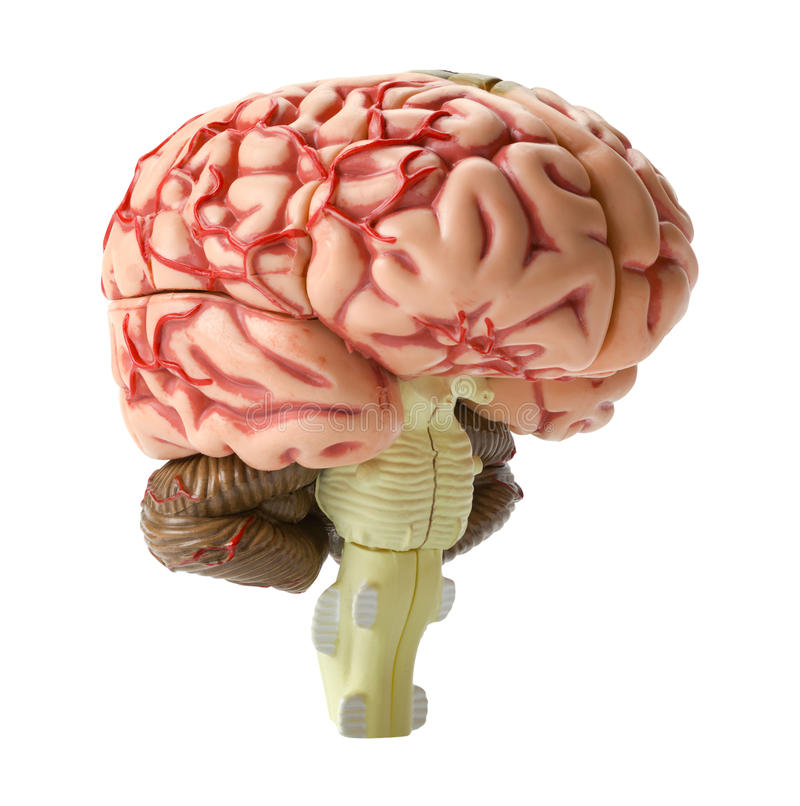 Brain Model arkivfoton