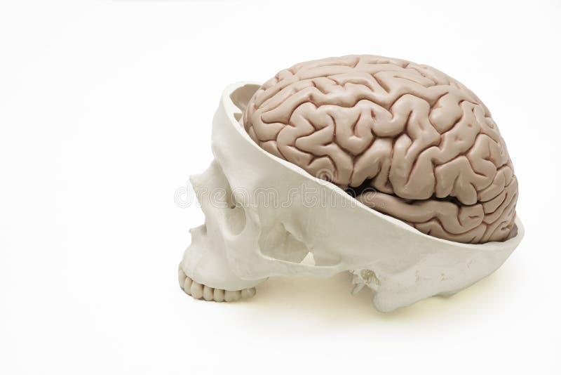 Brain Model Inside Skull On White Background Stock Image Image Of